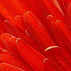The gerbera's heart